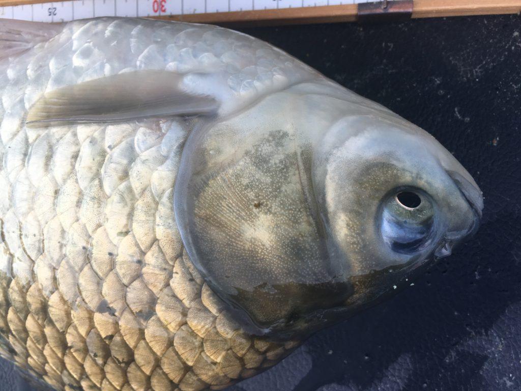 ヘラブナ釣り業界の危惧:人口減少について