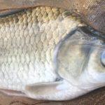 ヘラブナという魚の魅力