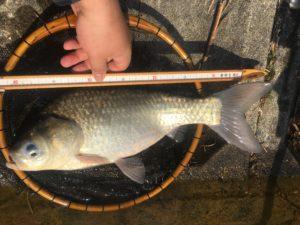7か月ぶりのヘラブナ釣りの初ヒットで尺半