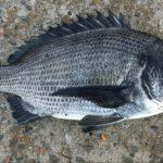 名古屋港チヌのウキフカセ釣りサナギ釣法のまとめ【0.概論】(2019年版)