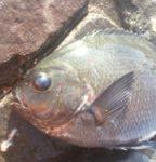 浜名湖グレ釣り最盛期突入