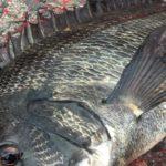 名古屋港チヌのウキフカセ釣りサナギ釣法のまとめ【4.コマセワークと釣り方】(2019年版)