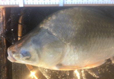 【ひだ池】2日連続釣行へろへろ両グルテンからのセット、ラストにデカブツ!!【ヘラブナ】